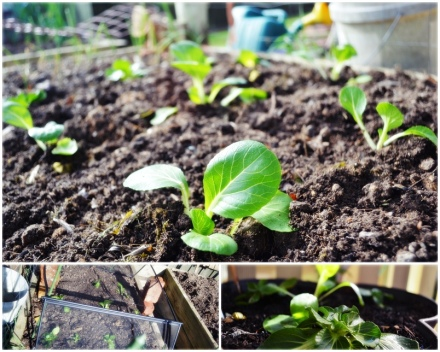 planting of bok choy and pak choy