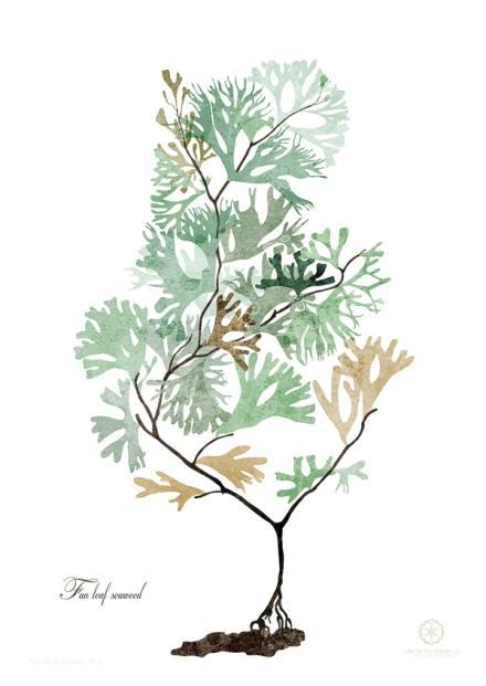 fan leaf seaweed illustration interpretation